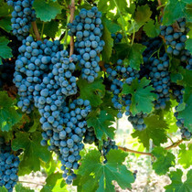 Lambrusco Grapes