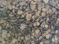 Qiancao ( Indian Madder Root)---茜草(powder100g/bottle)