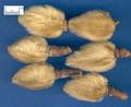 Xinyi (Herba Asari/ bud of biondii )---辛夷