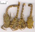 Quanxie ( Scorpion)---全蝎