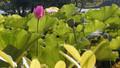 HEYE(Lotus Stamen)---荷叶