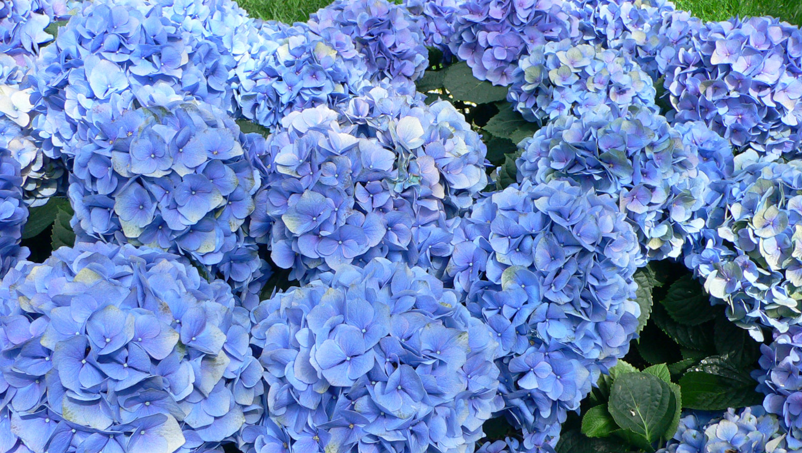 blue-and-hydrangea.jpg