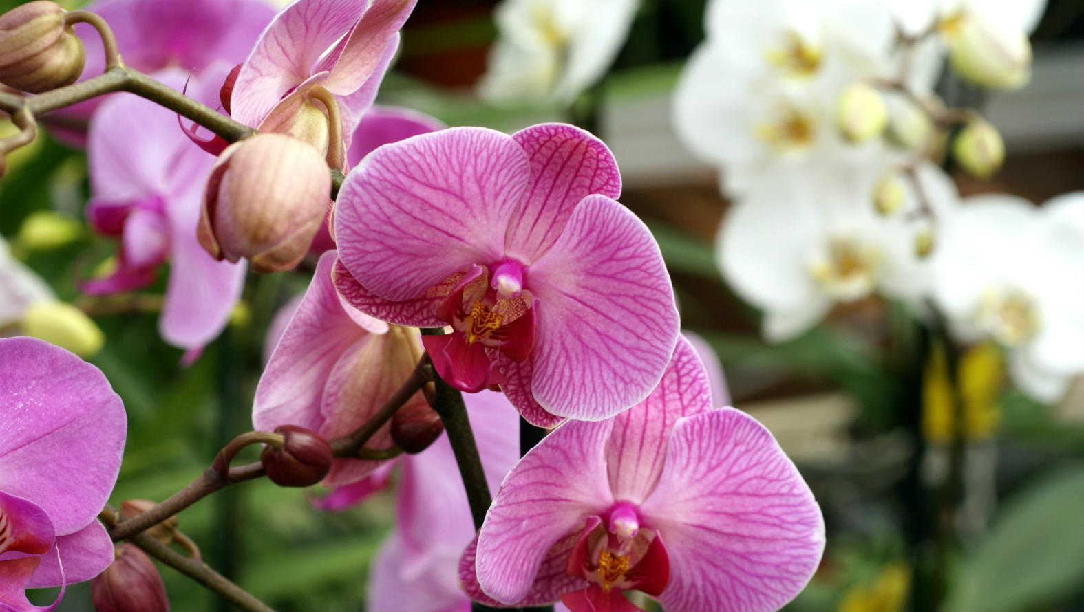Potted Pink Orchid
