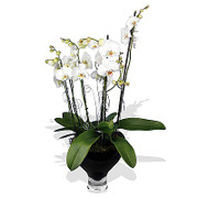 large potted orchids