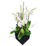 luxury white orchids in a pot