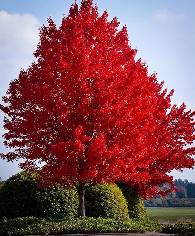Fall's Glory - The Red Maple Tree