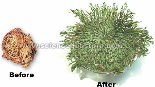 resurrection_plant_2.jpg