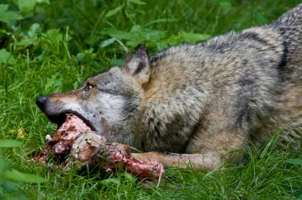 wolf-feeding-1.jpg