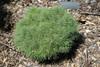 Sea Urchin Dwarf Eastern White Pine