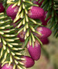 Oriental Spruce Cones