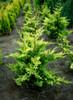 Cupressus leylandii ' Gold Rider ' Golden Leyland Cypress