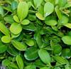 Buxus microphylla ' Morris Midget ' Miniature Japanese Boxwood