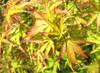 Acer palmatum ' Wou nishiki ' Japanese Maple