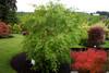 Acer palmatum 'Omurayama' Japanese Maple Tree