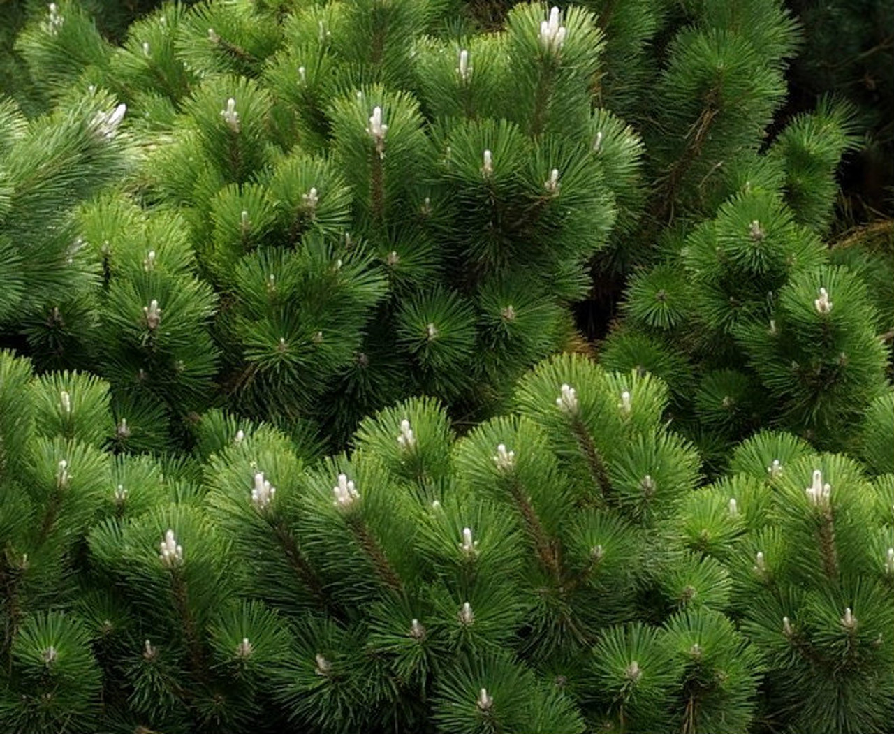 How To Get A Bigger Pinus