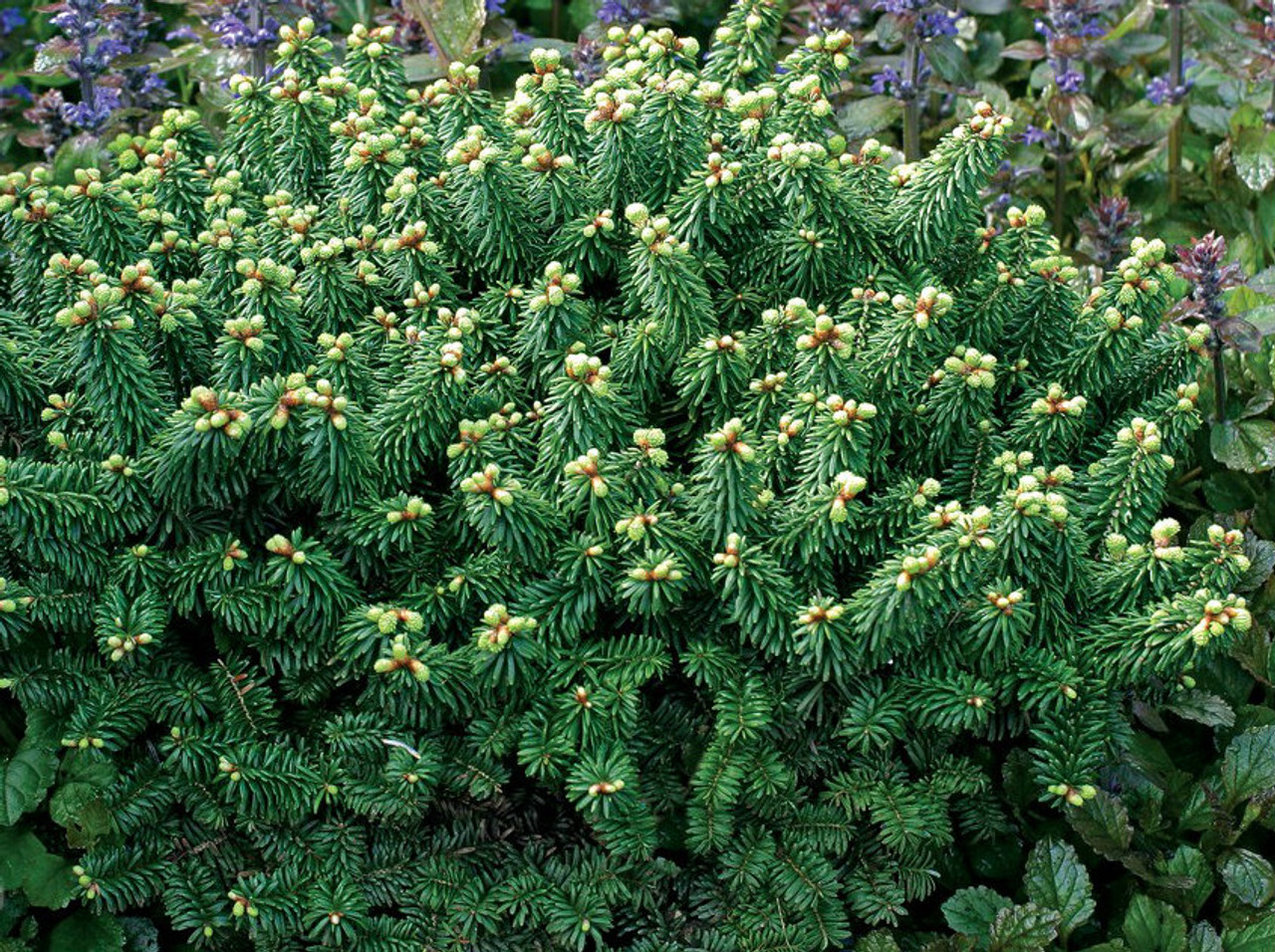Abies Balsamea Piccolo Miniature Balsam Fir Kigi Nursery