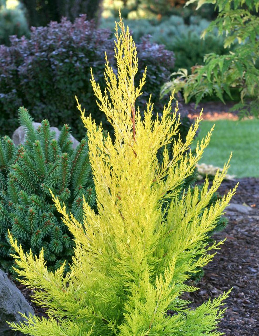 Cupressus Macrocarpa Donard Gold Golden Monterey
