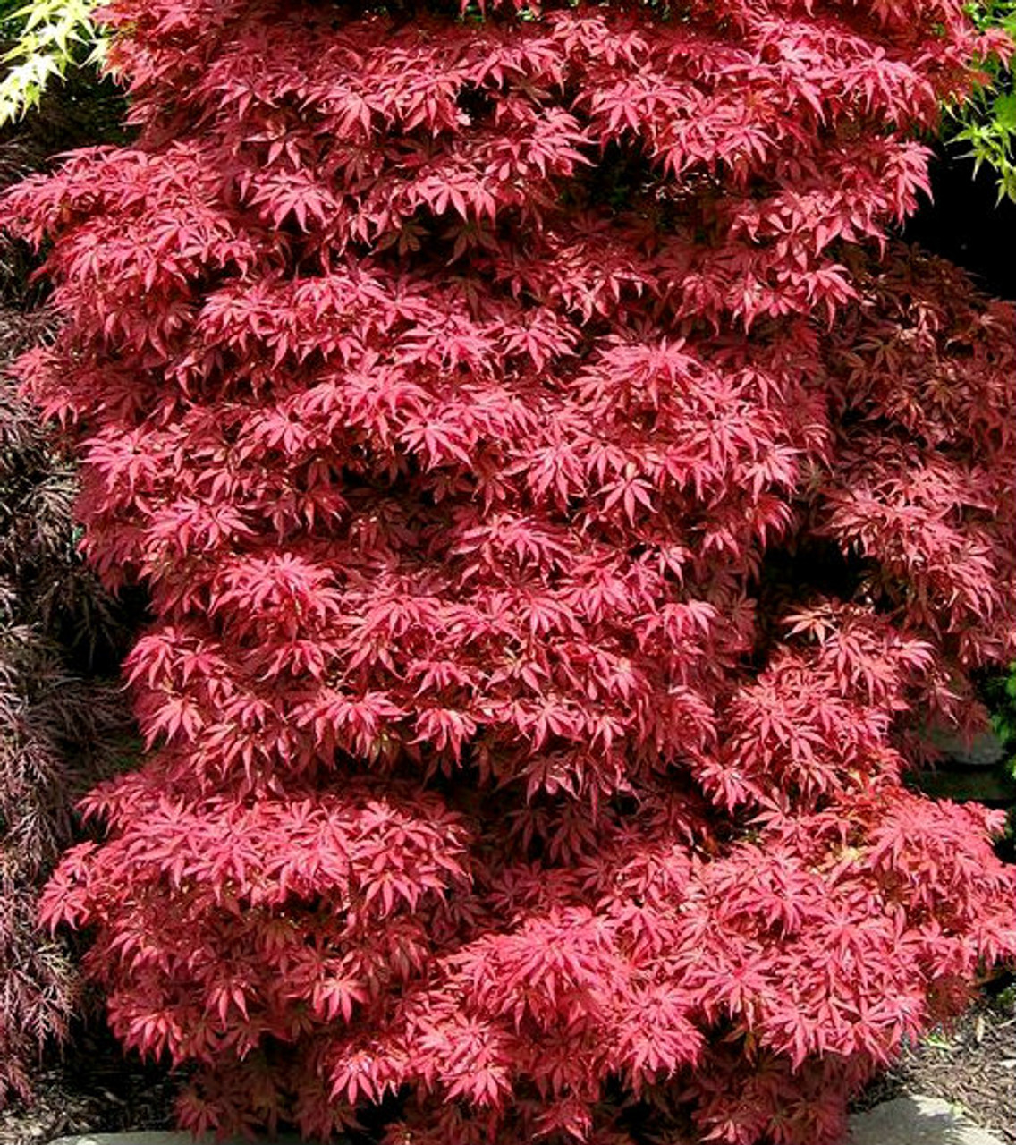 acer palmatum 39 skeeter 39 s broom 39 red japanese maple tree. Black Bedroom Furniture Sets. Home Design Ideas