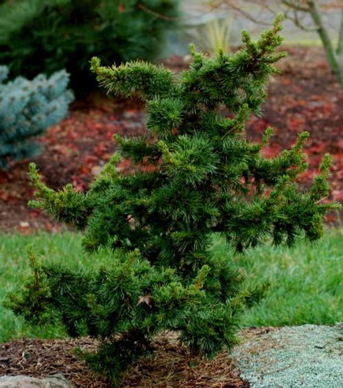 Green Knight Miniature Cedar of Lebanon