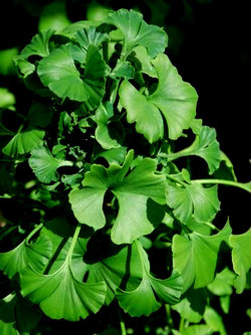 Ginkgo biloba ' Gnome '  Dwarf Maidenhair Tree