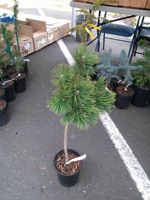 Pinus mugo 'Gnom' on standard