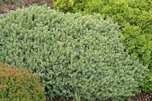 Miniature Alberta Spruce Echiniformis