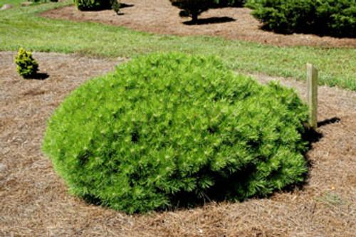 Pinus densiflora 'Vibrant' Dwarf Japanese Red Pine
