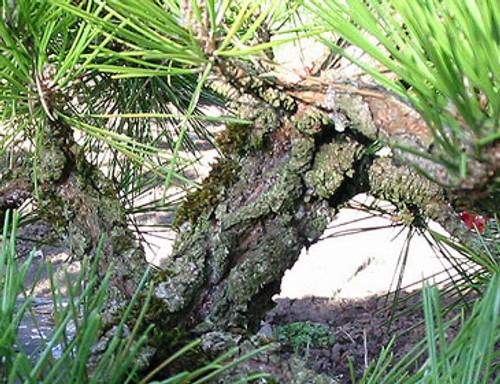 Pinus thunbergiana 'Kyokko yatsabusa' Dwarf Japanese Black Pine