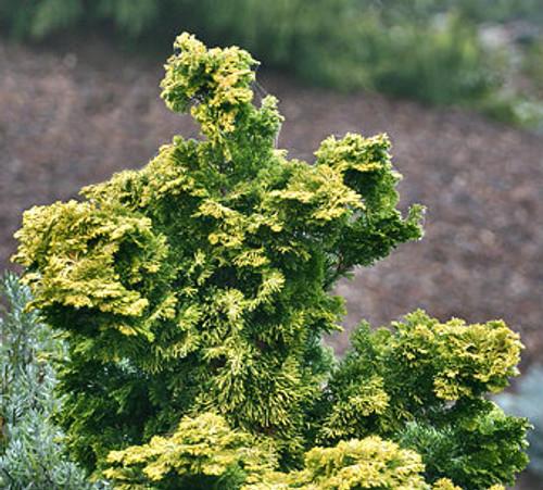 Dwarf Golden Hinoki Cypress Verdoni