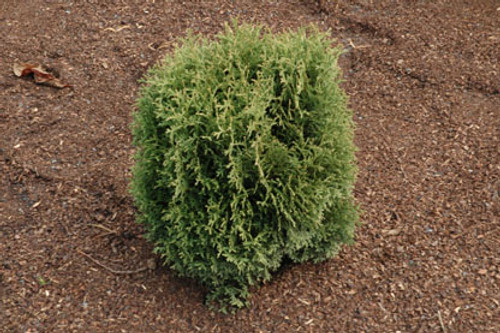 Miniature American Arborvitae Waterfield