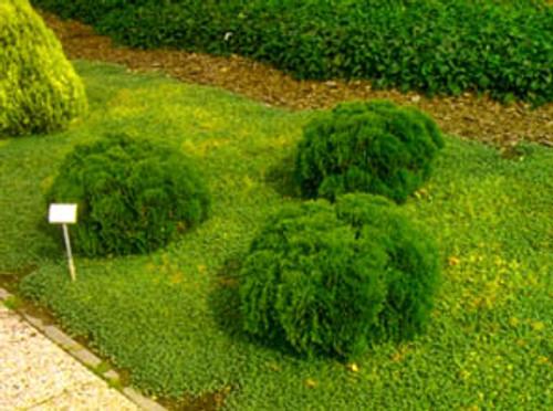 Dwarf Eastern Arborvitae