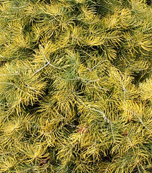 Abies concolor ' Wintergold ' Golden White Fir