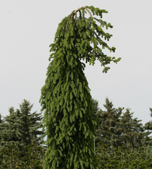 Weeping Norway Spruce Frohburg