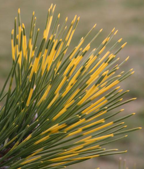Pinus thunbergiana ' Shirome janome ' Variegated Japanese Black Pine