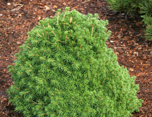 Picea abies ' Tompa ' Dwarf Norway Spruce