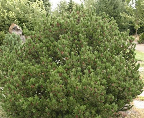 Spaan's Dwarf Shore Pine