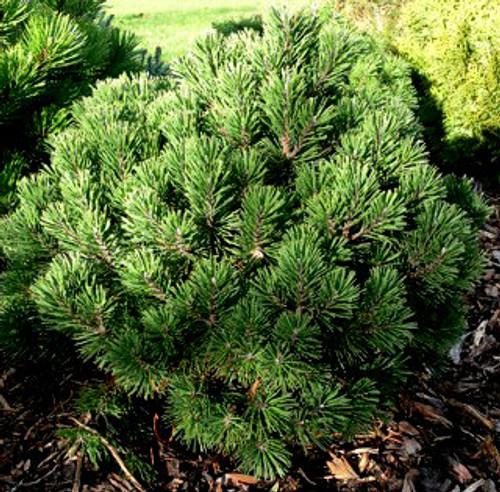 Pinus mugo ' Gnom ' Dwarf Mugo Pine