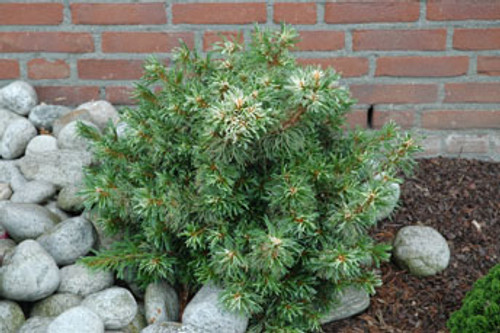 Pinus parviflora ' Tani mano uki ' Dwarf Japanese White Pine