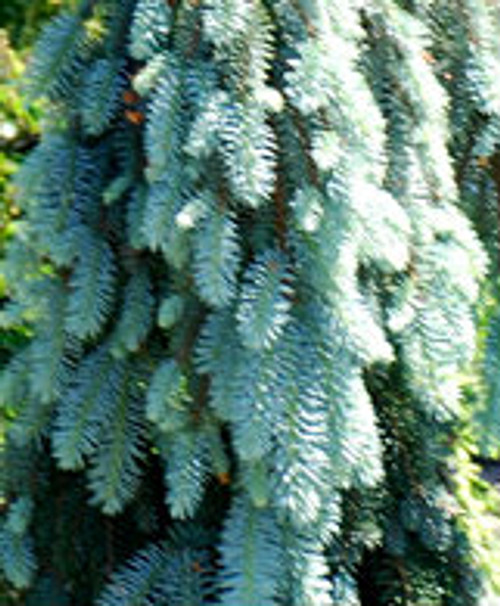 Picea pungens 'Blue Falls' Weeping Colorado Blue Spruce
