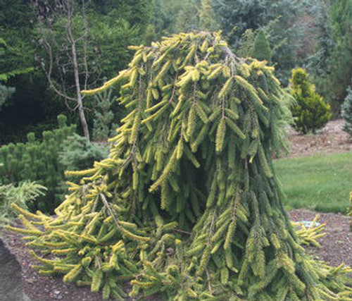 Picea abies ' Gold Drift ' Dwarf Weeping Golden Norway Spruce