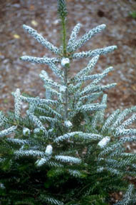 Abies koreana ' Silver Show ' Dwarf Korean Fir
