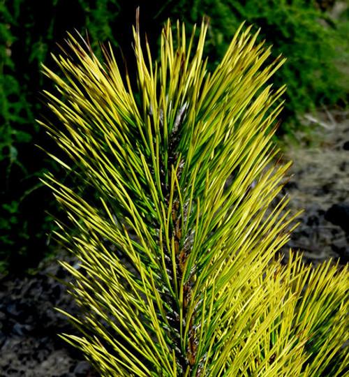 Pinus thunbergiana ' Ogon ' Golden Japanese Black Pine
