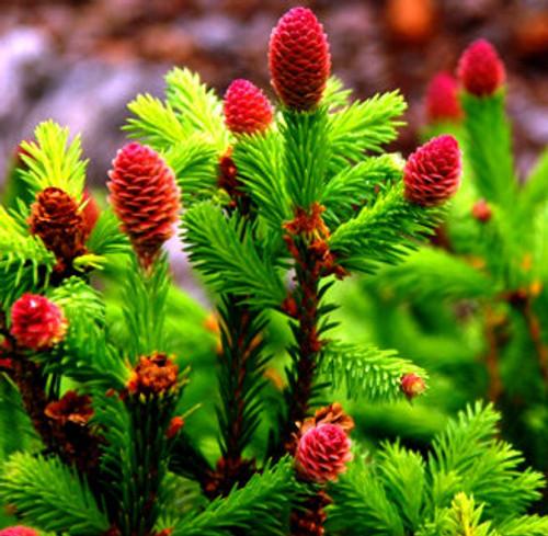 Picea abies ' Pusch ' Dwarf Norway Spruce
