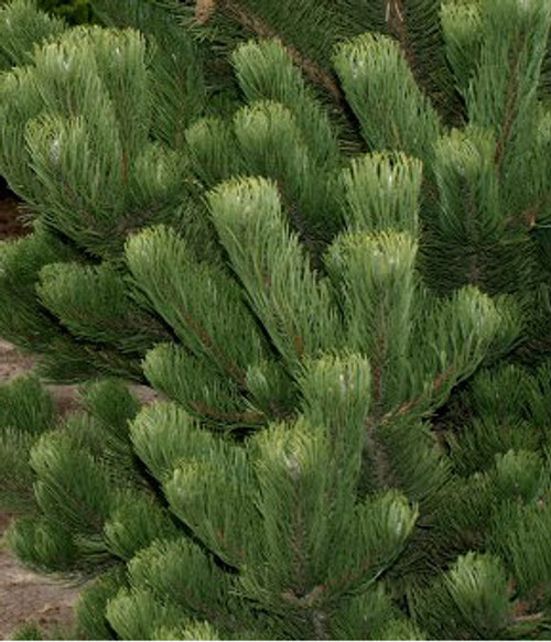 Pinus nigra ' Oregon Green ' Deep Green Austrian Pine