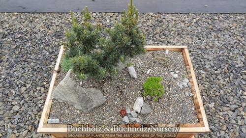 Pinus parviflora ' Zuisho ' Dwarf Japanese White Pine