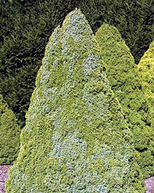 Picea glauca Sander's Blue Dwarf Alberta Spruce