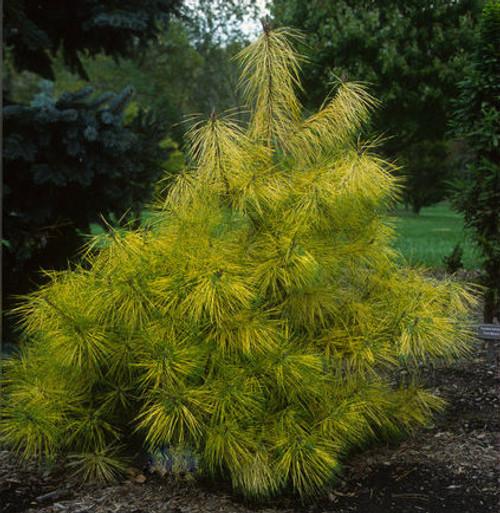 Pinus densiflora Cesarini's Variegated Japanese Red Pine