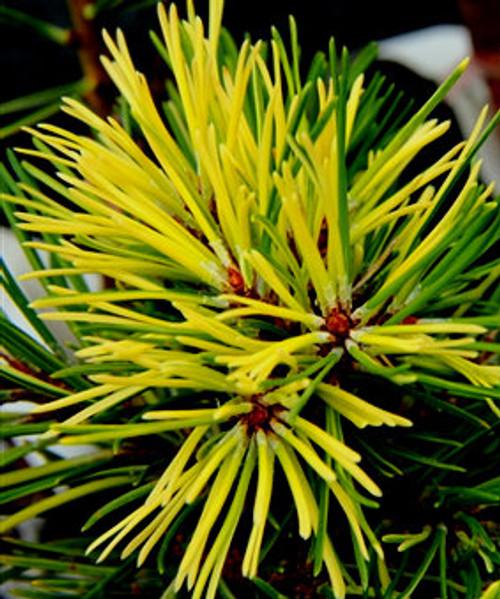 Pinus contorta ' Mt. Hood Marble ' Dwarf Variegated Shore Pine