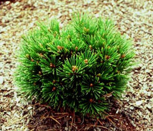 Pinus leucodermis (heldreichii) ' Smidtii ' Miniature Bosnian Pine