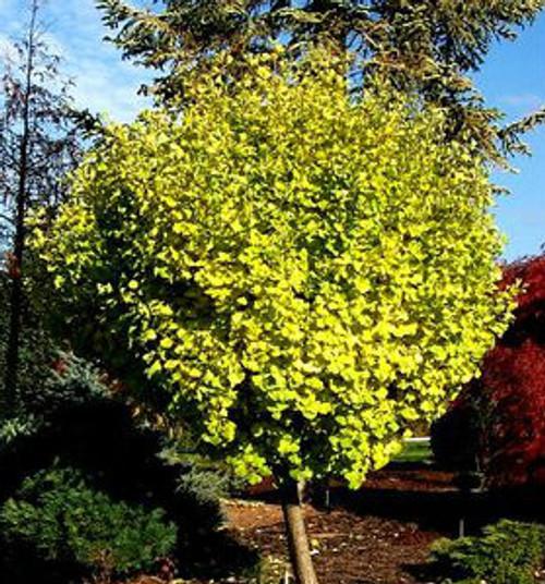ginkgo biloba 39 green pagoda 39 miniature maidenhair tree. Black Bedroom Furniture Sets. Home Design Ideas